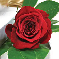 1-fir-de-trandafir-rosu-in-cutie-QwbHn