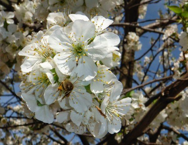plante pe placul albinelor